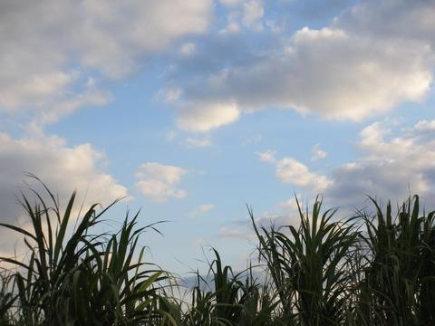 通事サトウキビ畑