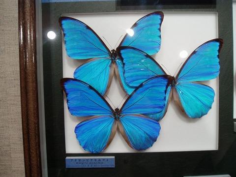 アモルファ蝶
