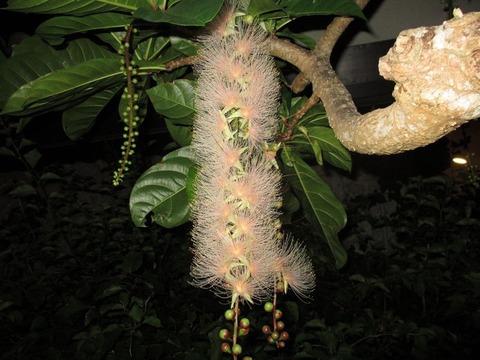サガリバナ花1
